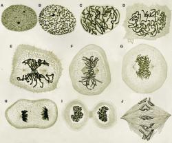 Dibujos de mitosis en células del tritón (A-I) del libro de W. Flemming, Zellsubstanz, kern und zelltheilung (Verlag Vogel, Leipzig, 1882)