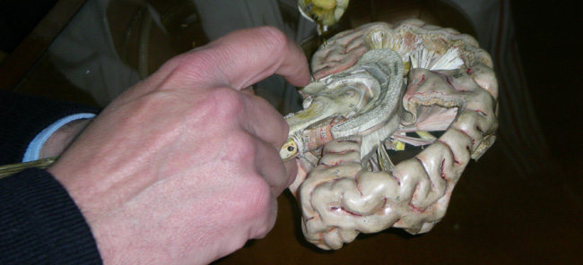 Modelo del encéfalo humano, elaborado en papel maché
